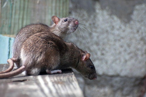 Уничтожение крыс и мышей. Дератизация в СПб